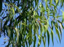 Eucalipto: proprietà, benefici e rimedi naturali