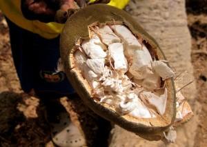 baobab frutto polvere proprietà benefici rimedi naturali blog
