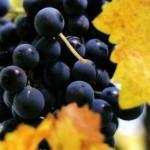 Bellezza d'autunno: purificare la pelle con il mosto