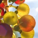 Olio di Vinaccioli: virtù benefiche, proprietà e rimedi naturali
