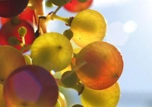 vinaccioli uva olio bellezza