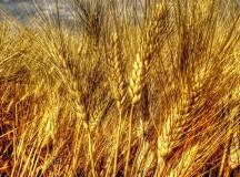 Nerisi: le proprietà benefiche del Grano duro antico siciliano