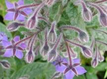 La pianta della Borragine. Dai semi viene estratto l'olio di Borragine.